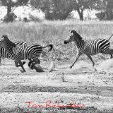 zebra stampede
