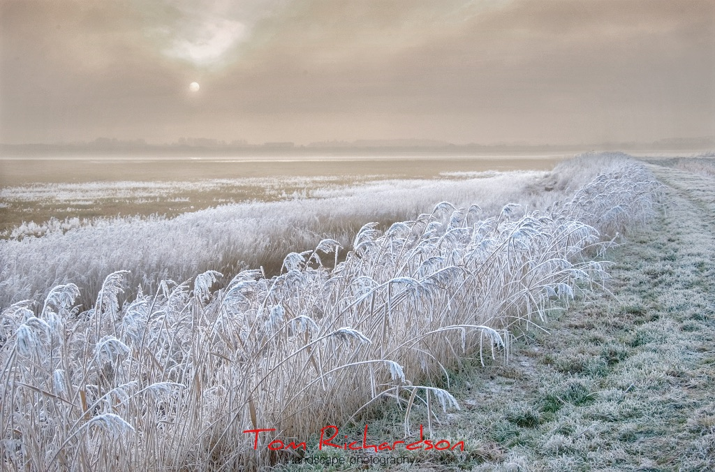 frosty reed bed