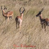 impala trio