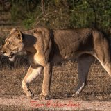 lion in the selous