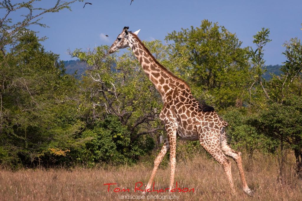 running masai giraffe