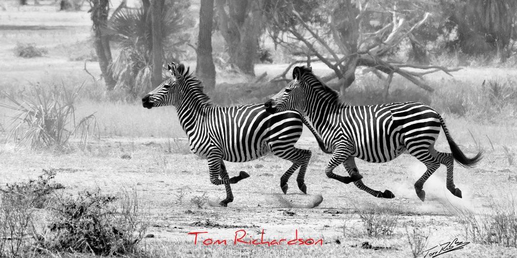 running zebra