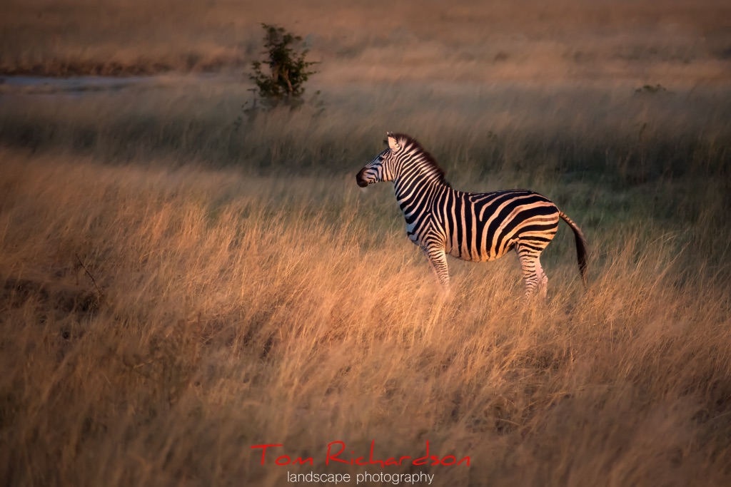zebra in the afterglow