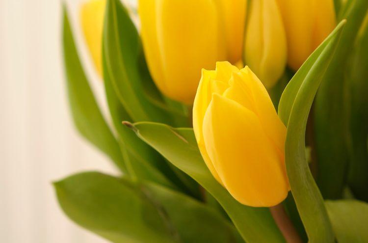 Yellow tulips (2)