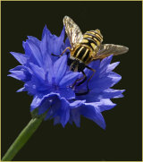 1st Hoverfly on Cornflower by Norman Bernard