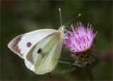 Winner Large White Butterfly (Pieris brassicae) by Martin Ridout LRPS