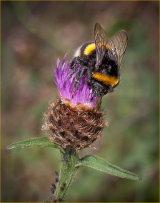 Hon.Men. Bee on Knapweed (Centaurea nigra) by Martin Ridout LRPS