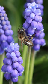 Hon.Men. Honey Bee on Grape Hyacinth by Joyce Bernard