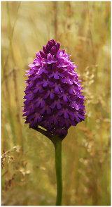 Hon.Men. Pyramidal Orchid (Anacamptis Pyramidalis) by Norman Bernard
