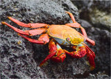 Hon.Men. Sally Lightfoot Crab by Rosemary Spurway