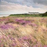 Heather and grass, Dunwich Heath