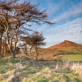 Roseberry Topping and pine