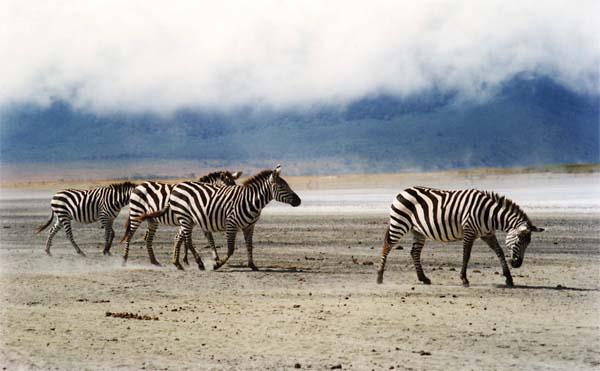 Zebras crossing !