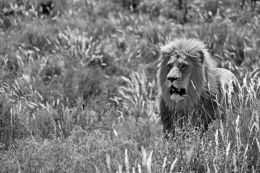 Lion country black & white