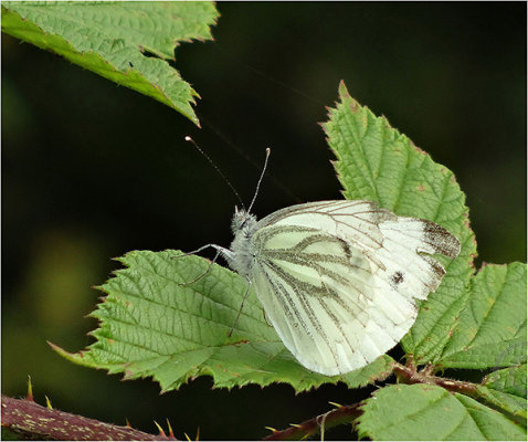 White Butterfly at Rest