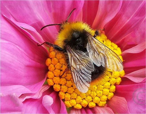 Bumble Bee at Rest