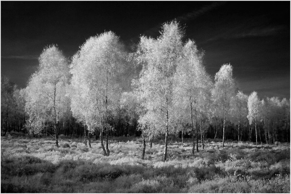 Birch Trees on Cannock Chase 2