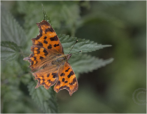 Comma Butterfly at Rest 1