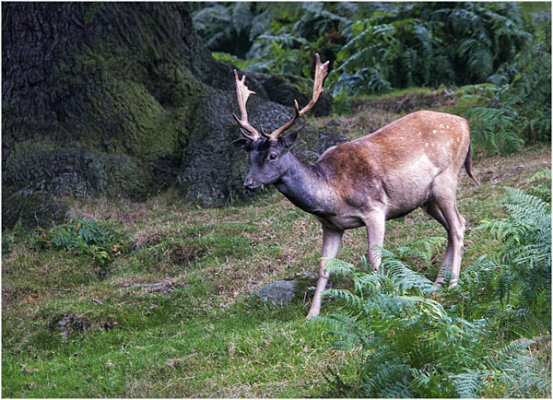 Deer at Bradgate Park 2