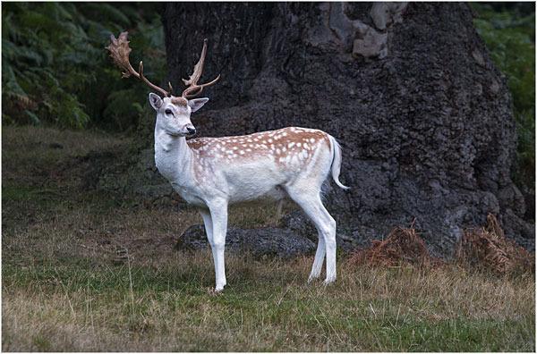 Deer at Bradgate Park 3