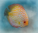 Discus Fish in Blue Water