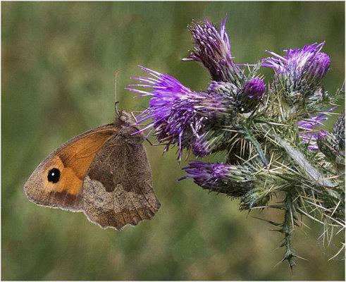 Gatekeeper Butterfly on Thistle