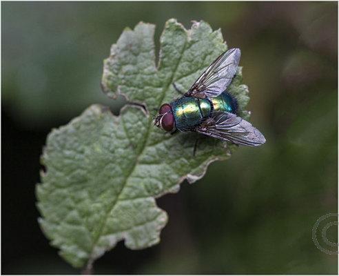Greenbottle Fly on leaf