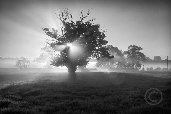 Backlit Oak Tree in Mono