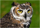 Long Eared Owl Portrait