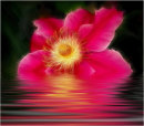 Pink Beauty in Water