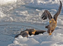 White Tailed Eagles