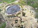 Mycena Inclinata 2