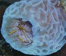 Arrow Crab On Azure Sponge