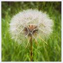 Umbellifer Seedhead 2