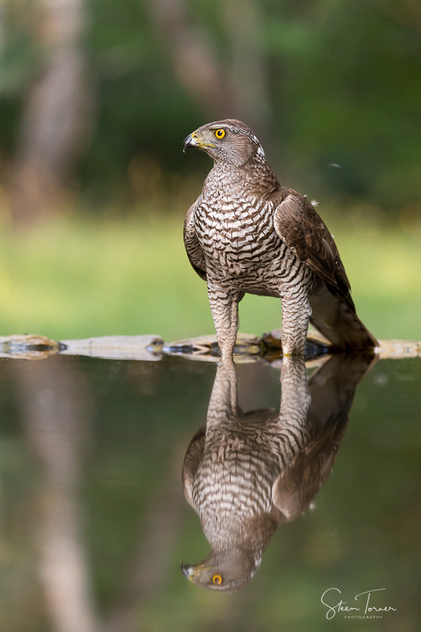 Goshawk with reflection
