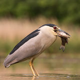 Night Heron with catch