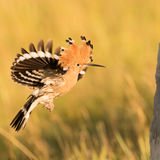 Hoopoe entering nest