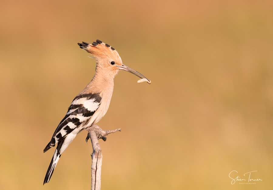 Hoopoe with feed