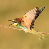 Angry European Bee Eater