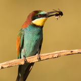 European Bee Eater with bumblebee
