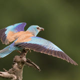 Roller on a branch