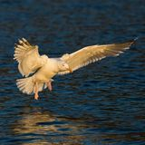 Herring gull in evening light