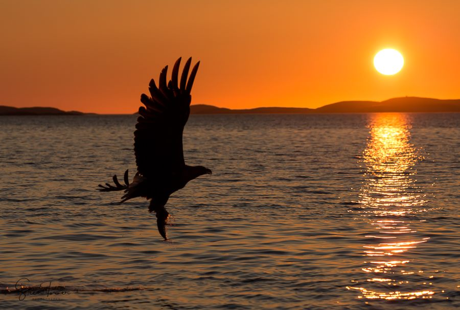 White-tailed eagle in silhouette