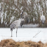 Common crane in sleet
