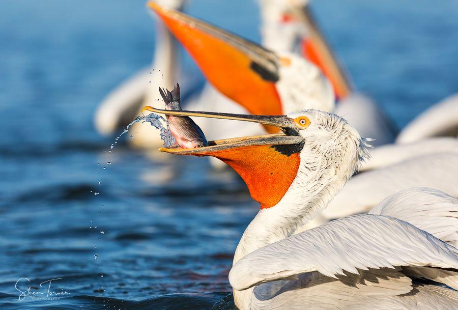 Dalmatian Pelican catching fish