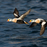 King Eiders in flight