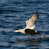 Common Eider taking off