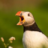 Screaming Puffin