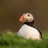 Puffin in the soft evening sun