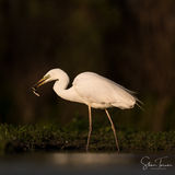 Great white egret in sunset